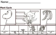 plant cycle worksheet   Label the parts of the flower andthe stages of the seed and bean ...