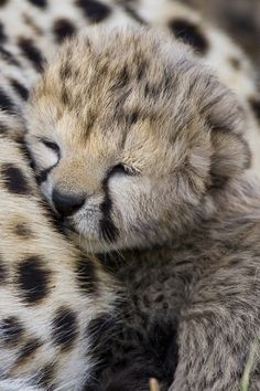 Baby cheetah napping on mom