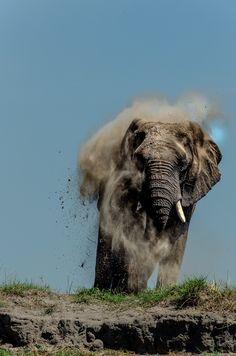 Elephant dustbath - Elephant taking a dustbath after crossing the Chobe river