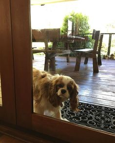 Umm... excuse me, I'd like to come inside Mum! What do I have to do?? Beg? #letmein #mumplease #teddyturner #theodorable #ckcs #ckcspuppy #cavalierkingcharlesspaniel #cavalier #cavlife #cavalierkingcharles #cavaliersofinstagram #cavalierworld #itsacavthing #pupstagram #puppiesofinstagram #puppylove #puppygram #puppylife #puppyoftheday #dogofthday #dogsofinstagram #blenheimcavalier #blenheimpuppy #cavstagram #cavstyle
