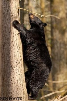 **Black bear