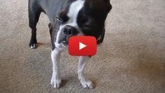 This Cute Boston Terrier is Getting Sleepy Blinking her Eyes! Watch ► http://www.bterrier.com/?p=26107