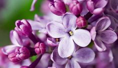 Cheer up your sleeping garden with spring-flowering trees and shrubs - Add these spring bloomers to your garden - Trees and Shrubs - Plants - Canadian Gardening