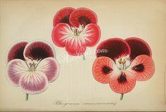 pelargonium   ...