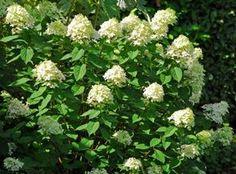 Podívejte se, jak pěstovat hortenzie, jak je množit a vyberte si z přehledu odrůd tu pravou! Gardening Tips, Herbs, Plants, Hydrangeas, Herb, Plant, Hydrangea Macrophylla, Planets, Medicinal Plants