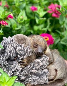 Sloths in Michigan Lewis Adventure Farm & Zoo - Sloth of The Day Zoo Map, Adventure Farm, Zoo Keeper, Sloths, Zoo Animals, Exotic Pets, Pet Birds, Michigan, Sloth