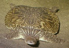 New Guinea Giant Softshell Turtle (Pelochelys bibroni) Range from southern China to West Papua (Indonesia) and Papua New Guinea, but may also be found in Australia and thePhilippines. They are now extinct in the Mekong and Chao Phraya River basins. Unusual Animals, Rare Animals, Beautiful Creatures, Animals Beautiful, Land Turtles, Sea Turtles, Carapace, Tortoise Turtle, Terrapin