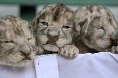 white lion picture | white lion babies - The Animal Kingdom Photo (213007) - Fanpop ...