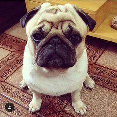 Cheer up Butler it's Friday! @butler_the_pug #pugsofinstagram by pugsofinstagram