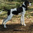 berner laufhund photo   Berner Laufhund