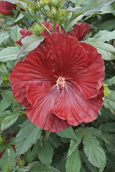 "Summerific - Cranberry Crush (Rose Mallow Hibiscus hybrid). Part Sun to Sun, 36-48"" height, maximum spacing 60"", spread 48-60"", upright habit, Perennial, low maintenance, long blooming, fall interest (blooms mid-summer to fall)"