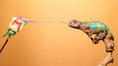 Chameleon Eating Off Rose by Scott Cromwell | 500px: Editors' Choice | Bloglovin