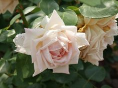 ~Hybrid Perpetual Rose: Rosa 'Egeria' (France, 1878)