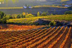 Vinyes de Santa Maria de Foix, el Penedes, Barcelona.