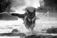 """""""Un vieil indien explique à son petit fils que chacun de nous a en lui deux loups qui se livrent bataille. Le premier loup représente la sérénité, l'amour et la gentillesse. Le second loup représente la peur, l'avidité et la haine. """"Lequel des deux loups gagne ?"""" demande l'enfant. """"Celui que l'on nourrit."""" répond le grand-père."""" Marie-Claire Blais  http://www.retouralinnocence.com/"""