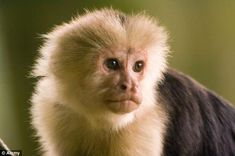 The Capuchin monkeys watched actors playing out a series of tests - and then  only accepting treats from the 'nice' participants