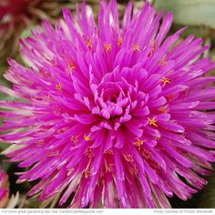 """New plant – tender perennial: Pink Zazzle globe amaranth (Gomphrena hybrid). Light: full sun to part shade; soil: well drained; size: 8"""" - 16"""" tall & wide; cold hardy: zones 8 - 11; heat tolerant: zones 12 - 1."""