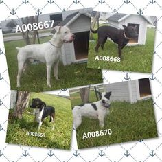 09/13/16-ROSENBERG, TX - URGENT - Pets at Ft. Bend Animal Control September 10 at 8:02pm ·  These four dogs were all brought to the shelter today. A008667 - male Boxer found in Richmond.  A008668 - female German Shepherd, found in Sugar Land A008669 - female Rat Terrier found in River Stone A008670 - female Jack Russell, found in Sugar Land Please share so we can reunite them with their owner.  281-342-1512 1210 Blume Rd, Rosenberg TX