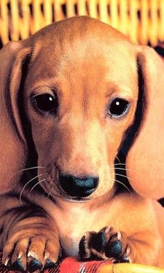 Dachshund puppy dog