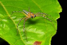 Male Lynx Spider (Hamadruas sikkimensis, Oxyopidae) | Flickr - Photo Sharing!