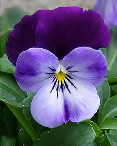 pansies pictures flowers - Google Search
