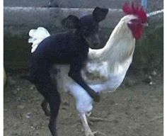 Dog On Chicken