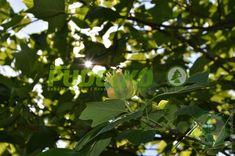 Thuja Smaragd, Plant Leaves, Plants, Plant, Planets