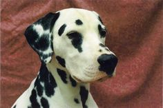 Every Dalmatian owner should read this!! Dalmatian training