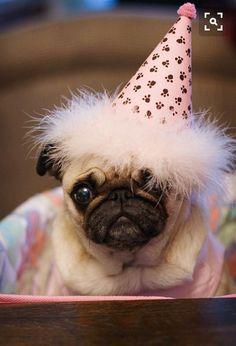 Pugs are perf Baby Animals, Funny Animals, Cute Animals, Pug Love, I Love Dogs, Birthday Pug, Happy Birthday, Birthday Wishes, Raza Pug