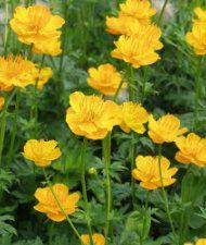 Kesäkullero Iris, Inspiration For The Day, Woodland Garden, Shade Garden, Perennials, Berries, Bloom, Orange, Spring