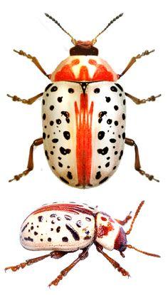 Calligrapha verrucosa (Suffrian, 1858) F Chrysomeloidea