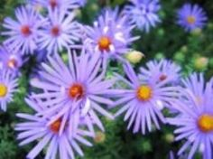Michaelmas Daisies - Michaelmas is the fall season in Britain, and that is when these daisies bloom.