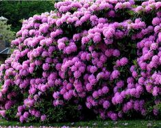 Rhododendrons - Soil for planting rhododendrons should be acidic (pH 4.5-5.5), loose and breathable. Option 1: peat, garden soil and pine litter (all in equal parts); Option 2: garden soil - 1 part sphagnum moss - 2 parts.
