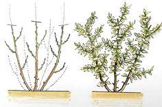 Nenechajte si ujsť ŠPECIÁL o reze ovocných drevín. V tejto časti vysvetlíme, ako dokážete ovplyvniť kondíciu čučoriedky, výšku úrody, veľkosť aj kvalitu bobúľ.