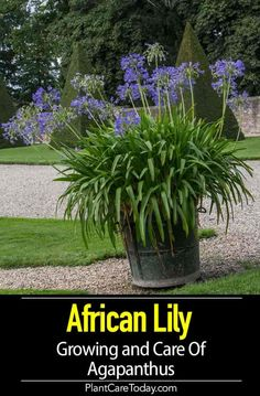 The Agapanthus plant, also known as the Blue Lily-of-the-Nile or African lily plant, displays striking blue flowers on tall and slender stalks. [LEARN MORE] Lily Plants, Plants, Agapanthus Plant, Flower Garden Plans, Agapanthus, Daylily Garden, Agapanthus Blue, Outdoor Plants, African Lily