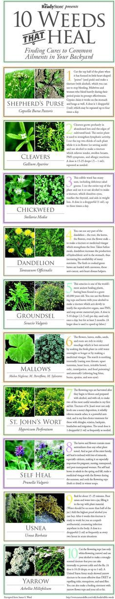 Gardening Love 10 Weeds That Heal Flowers Garden Love - Medicinal plants are crucial to your health and wellness in a survival situation. Get to know the 11 medicinal plants you can grow in your backyard! Healing Herbs, Medicinal Plants, Natural Healing, Poisonous Plants, Holistic Healing, Herbal Remedies, Home Remedies, Natural Remedies, Health Remedies