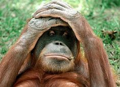 The 26 Types Of Matches You'll Encounter On Tinder If You're An Orangutan Funny Good Night Pictures, Funny Monkey Pictures, Funny Animal Memes, Funny Animal Videos, Cute Funny Animals, Funny Wallpaper Pictures, Poster Pictures, Monkey Island, Photos Singe