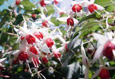 Im Herbst Kübelpflanzen ganz einfach vermehren https://freudengarten.de/show/161 #Steckling, #Geranie, #Fuchsie, #Gartentipp, #Kübelpflanze
