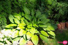 rośliny do cienia Bonsai, Plant Leaves, Diy And Crafts, Pergola, Plants, Gardening, Bonsai Trees, Garten, Bonsai Plants