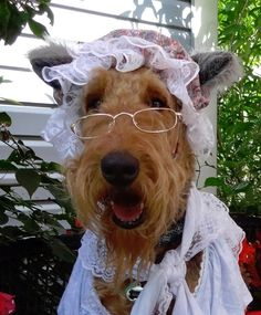 Do you want your dogs to look stylish? Then style tips from Airedale Terriers would be actuality😃. Irish Terrier, Airedale Terrier, Fox Terriers, Terrier Dogs, Cute Puppies, Cute Dogs, Dogs And Puppies, Doggies, N Animals