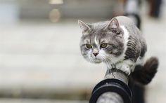 Lataa kuva Harmaa kissa, vihreät silmät, aita, kaunis kissa