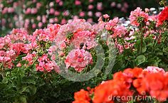 Flowering Geranium - Download From Over 54 Million High Quality Stock Photos, Images, Vectors. Sign up for FREE today. Image: 85321584
