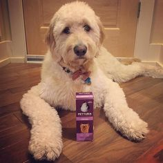 Thank you so much for the calming supplement @pettura_range!! My parents are excited to try it out tonight when we go downtown to look at the Christmas lights! #goldendoodlesofinstagram #goldendoodle #doodle #doodlelove #bestwoof #ruffpost #clubdoodle #dogsofinstagram #lacyandpaws #topdogphoto #buzzfeedanimals #myoklahoma #excellent_dogs #pettura #healthypethappypet by alan_goldendoodle