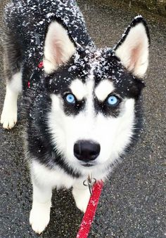 Wonderful All About The Siberian Husky Ideas. Prodigious All About The Siberian Husky Ideas. Cute Husky Puppies, Rottweiler Puppies, Husky Puppy, Lab Puppies, Sweet Dogs, Cute Baby Dogs, Cute Little Animals, Cute Funny Animals, Siberian Husky Dog