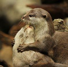 .Otters hugging.