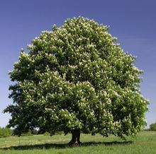 Magnificent Nut-Producing Shade Tree - Chestnuts