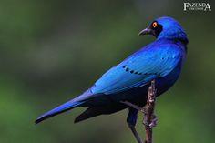 Melro_Azul_Grande_Lamprotornis_chalybaeus_Greater_Blue-eared_Glossy-starling_Fazenda_Visconde-5.jpg 1.000×667 pixels