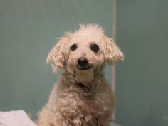 SUPER URGENT Brooklyn Center PRINCESS – A1090854  FEMALE, WHITE, POODLE MIN MIX, 13 yrs OWNER SUR – EVALUATE, NO HOLD Reason PERS PROB Intake condition UNSPECIFIE Intake Date 09/22/2016, From NY 11212, DueOut Date09/25/2016