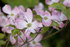 Le cornouiller, arbuste à fleurs du jardin : conseils de jardinage, entretien…