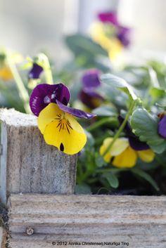 pansies in the flower garden